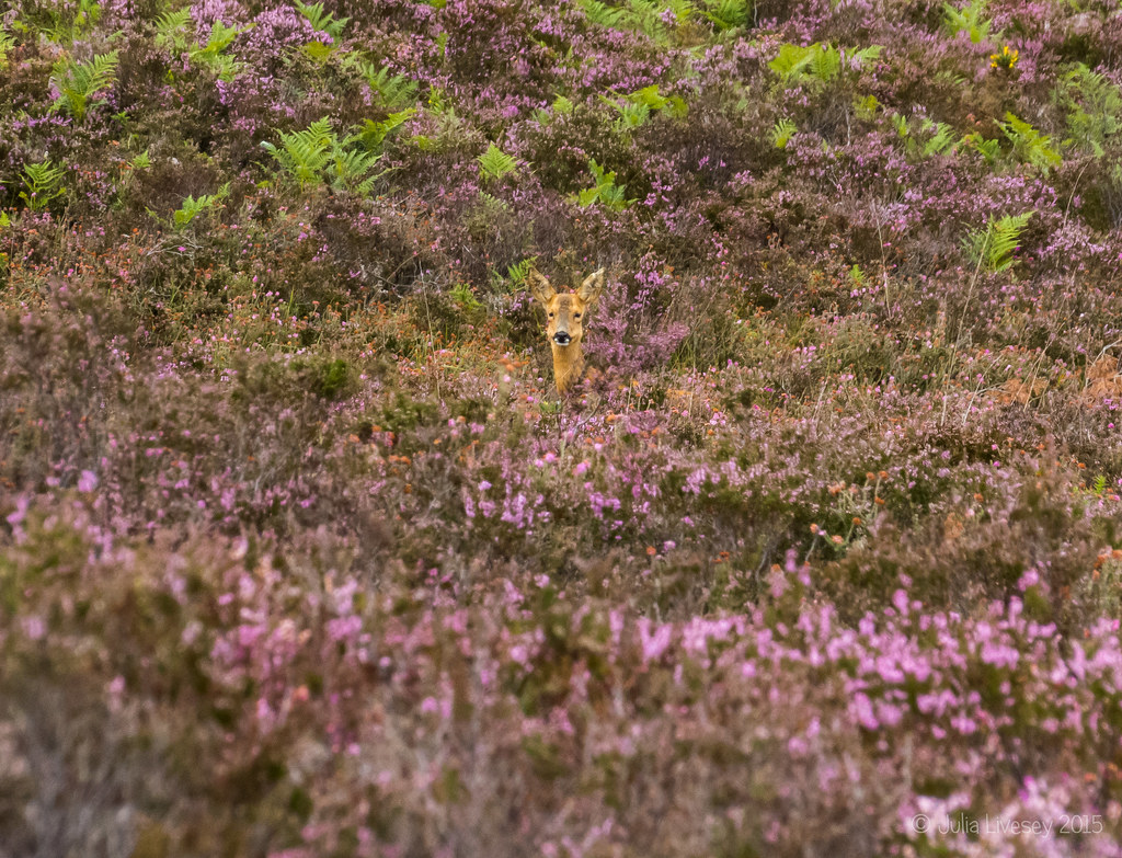 A roe deer keps a wary eye on us