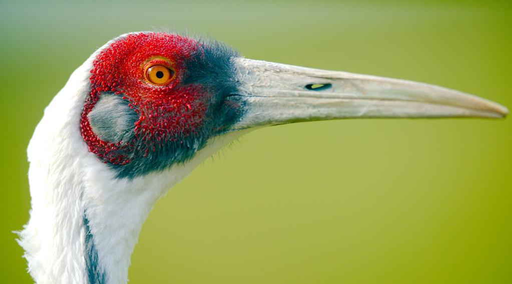 White-naped Crane (Grus vipio)_1