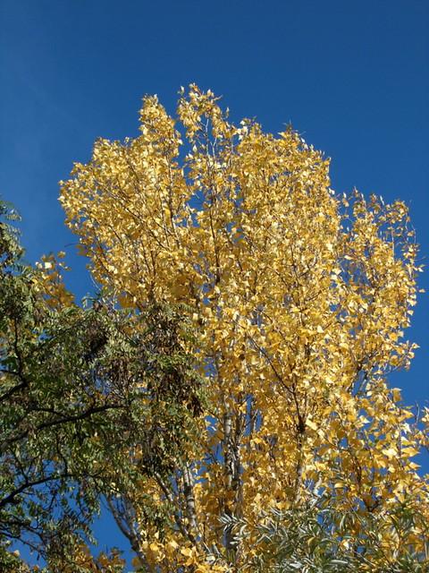 Birke im Oktober