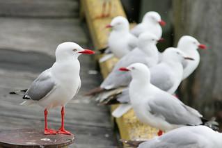 Gull, New Zealand 2008