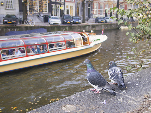 Pigeons by the canal