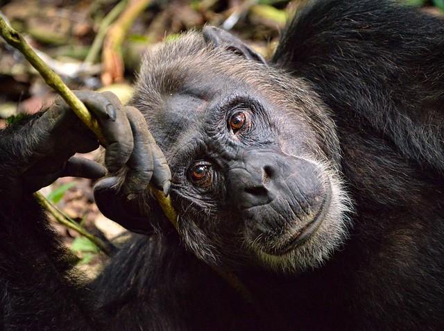 Chimp, Kibale, Uganda