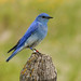 A mountain Bluebird with 'bling' by annkelliott