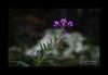 Epilobio o Gambirossi (Epilobium angustifolium)