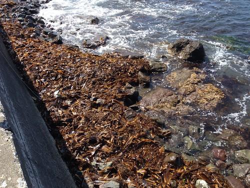 rebun-island-kanedano-cape-kelp