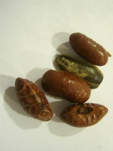 Wrinkled Seed Testas