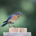 Eastern Bluebird by Steve Creek
