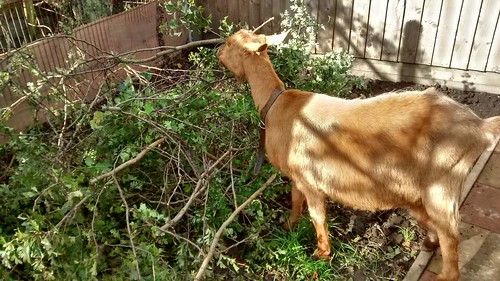 goat eating leaves Oct 15 (4)