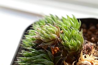 DSC_0671 Haworthia marumiana