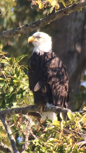 Bald Eagle. Nisqually NWR.