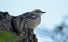 Northern Mockingbird Camouflaged