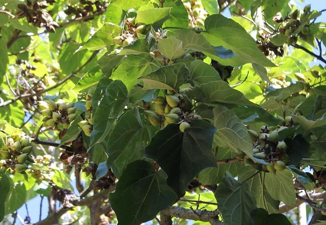 Paulownia tomentosa (= P. imperialis) 22415611000_549f884c77_z