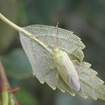 Pantilius tunicatus