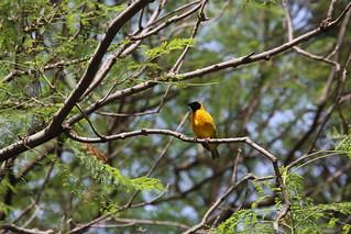Weaver Bird.