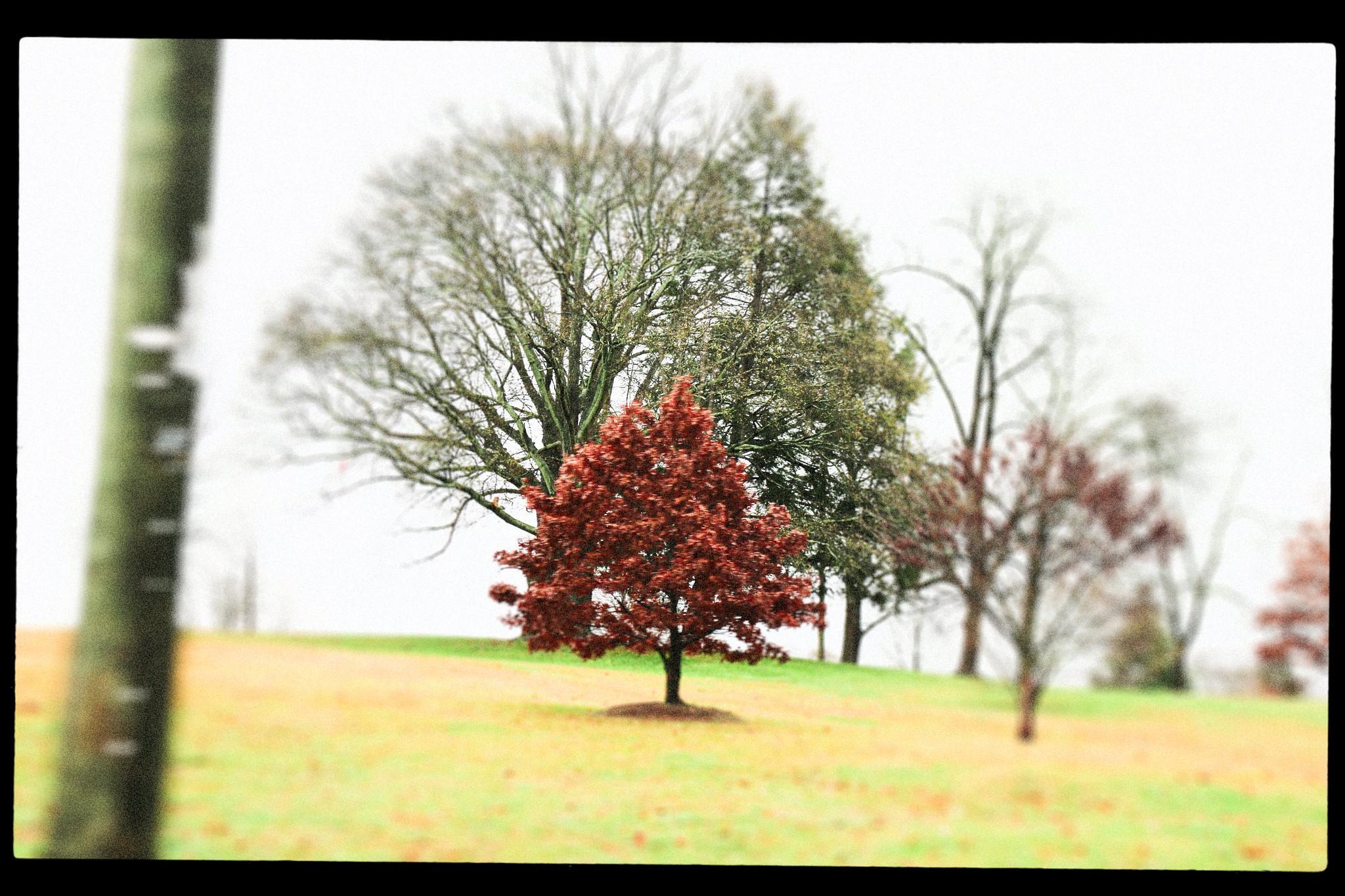 Red Tree. Freedom Park, Moreland Ave. December 2015.