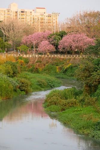 竹溪的羊蹄甲