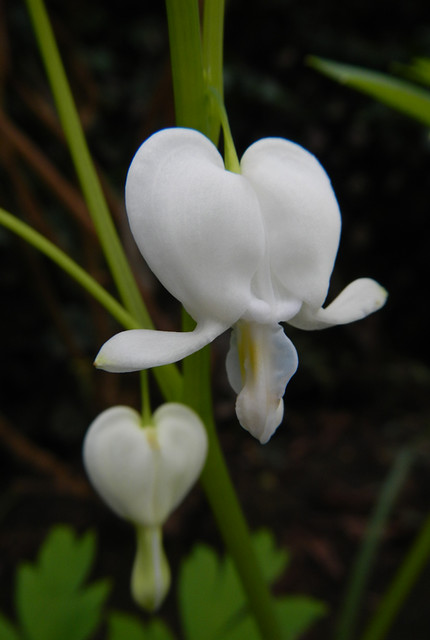 White Bleeding Heart Flower