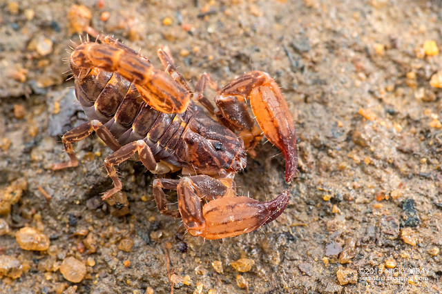 Scorpion (Chaerilus sp.) - DSC_1109
