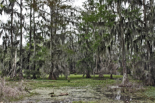 bridge trees usa lake reflection parish moss louisiana martin bald stmartin spanish swamp wetlands cypress bog breaux taxodium breauxbridge