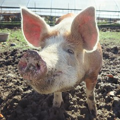 Happy pigs, happy me. 🐷✌👧  #pigs #farmlife #thoseears #inloveagain