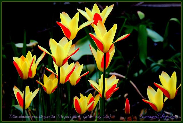 Dans mon jardin Tulipa, Nikon COOLPIX P510