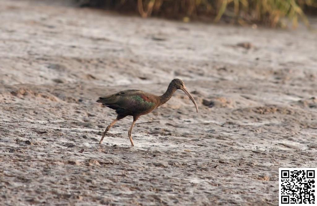 Glossy Ibis [Ibis Castaña]