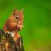 Red Squirrel by lorna hayton