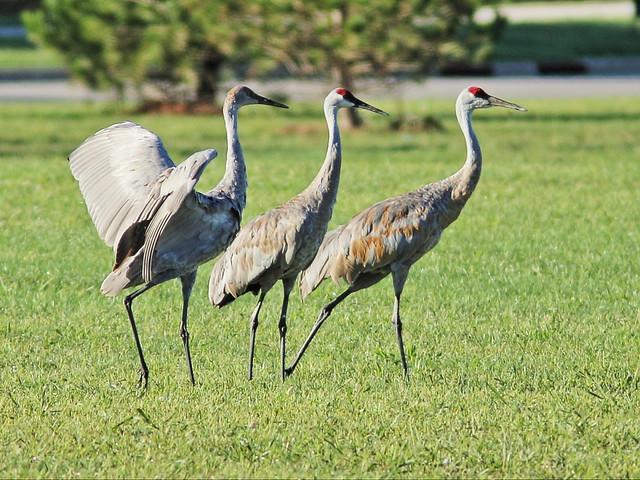 Sandhill Crane family 2-20150913