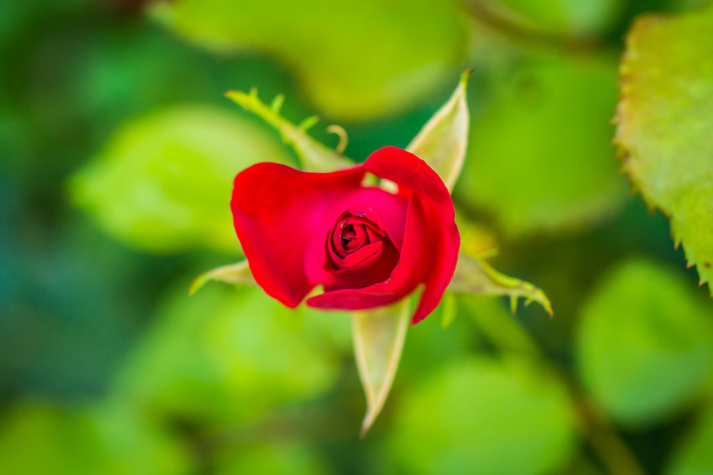 Innocent Red