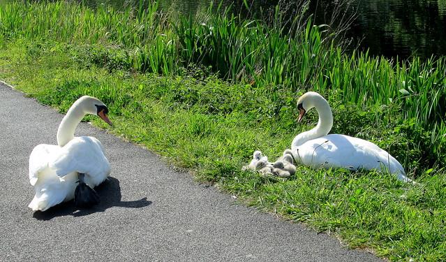Swans + Cygnets 1