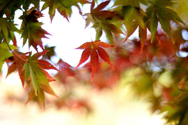 繼續楓葉~