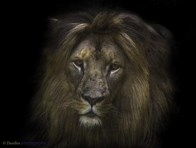 Lion Portrait on the dark