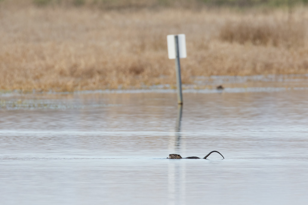 A nutria feeds in Bull Lake in front of a partially submerged sign