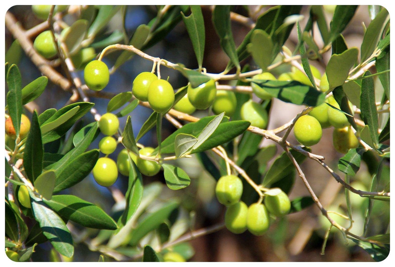 lake garda olive tree