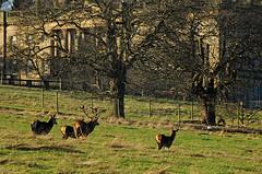 Deer at Wentworth
