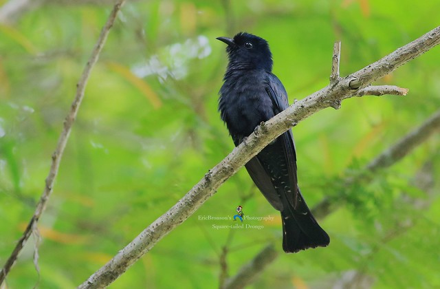 6F8A6297 Square-tailed Drongo, Canon EOS 7D MARK II, EF400mm f/5.6L USM
