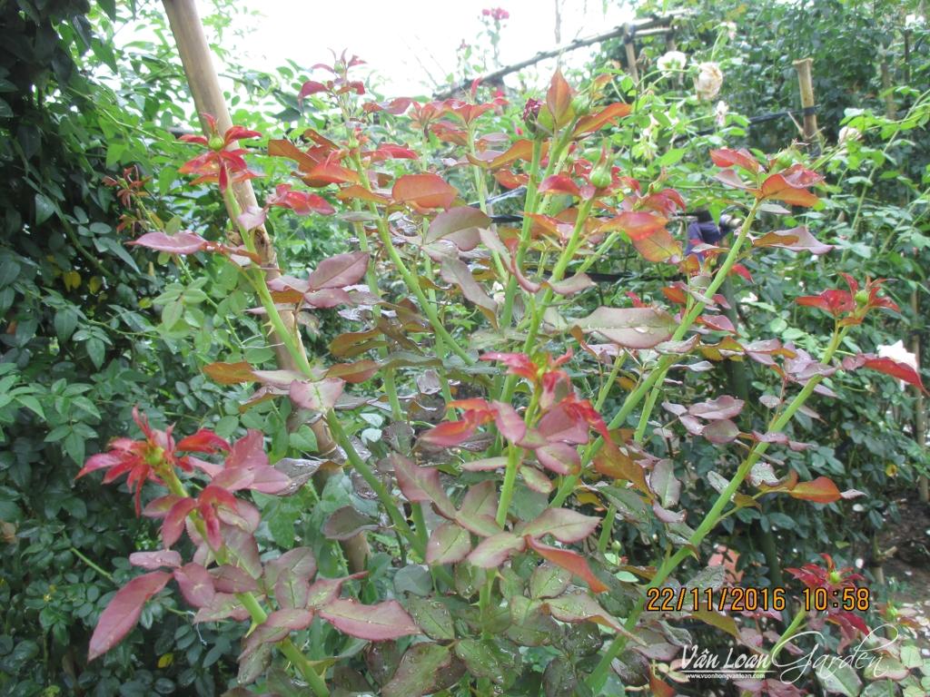 cach lam cho hoa hong leo ra nhieu nhanh (5)-vuonhongvanloan.com