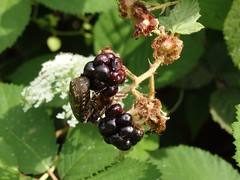 blackberry, shrub, berry, flower, red mulberry, plant, produce, fruit, food, boysenberry, dewberry, mulberry, bramble,