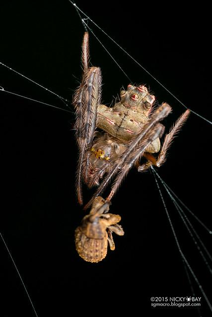Orb weaver spider (Verrucosa sp.) - DSC_1522