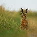 Brown Hare - Amongst the grass (1 of 1) by ian hull