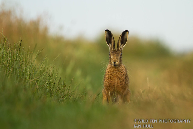 Brown Hare - Amongst the grass (1 of 1)