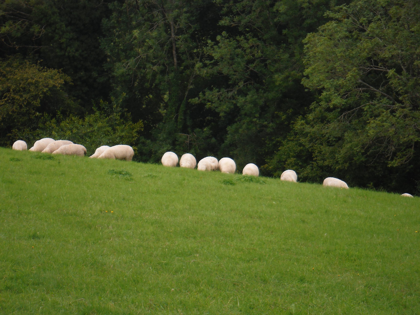 Headless Sheep SWC Walk 250 Tisbury Circular via Alvediston