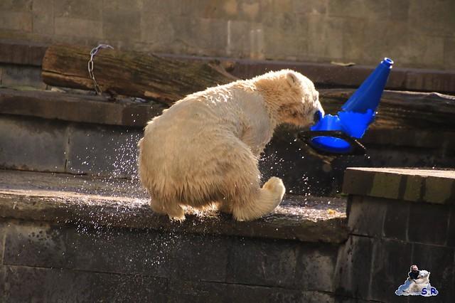 Eisbär Fiete im Zoo Rostock 26.09.2015   040