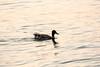 День 6. Закат на Женевском озере - уткой тут никого не удивишь