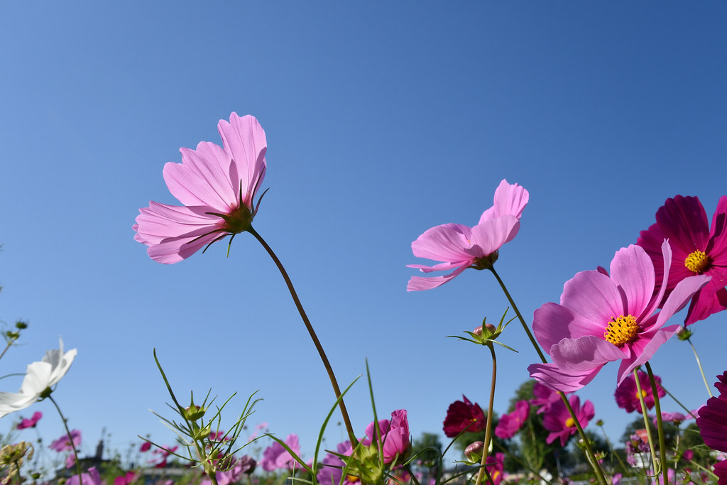 The cosmos in Owariasahi city 2015/10 No.1.