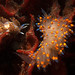 Two Nudibranchs by gapowell
