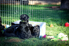 Portuguese-Water-Dog-puppies-18.jpg