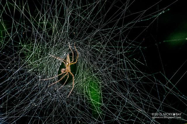 Nursery web spider (Pisauridae) - DSC_9619