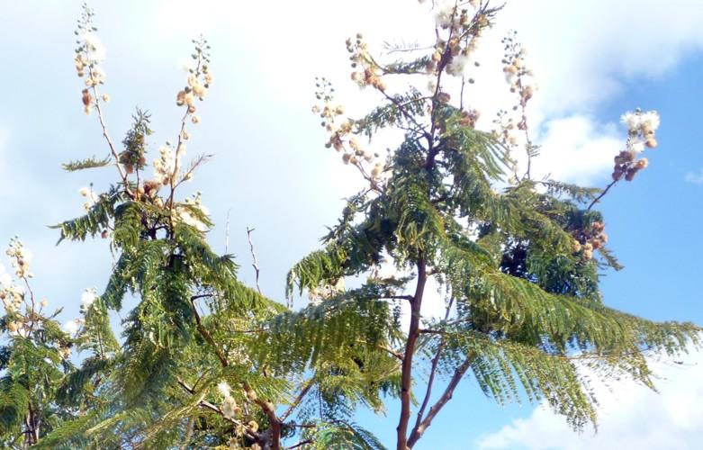 Anadenanthera colubrina 23494629980_9952c52e39_o