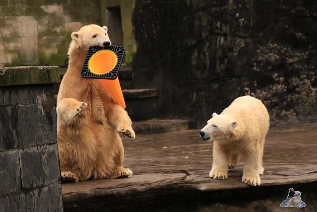 Eisbär Fiete im Zoo Rostock 13.12.2015  17